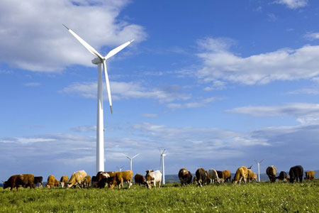 Efficient energy: Chinese wind farm - turbines spin lazily above a herd of grazing cows
