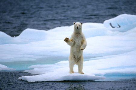 Warming oceans are changing our environment permanently - polar bear on ice floe