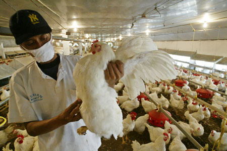 An Indonesian health worker carefully inspects chickens